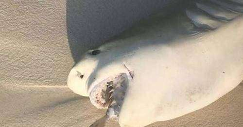 Shark dies after swallowing fish - Znebs